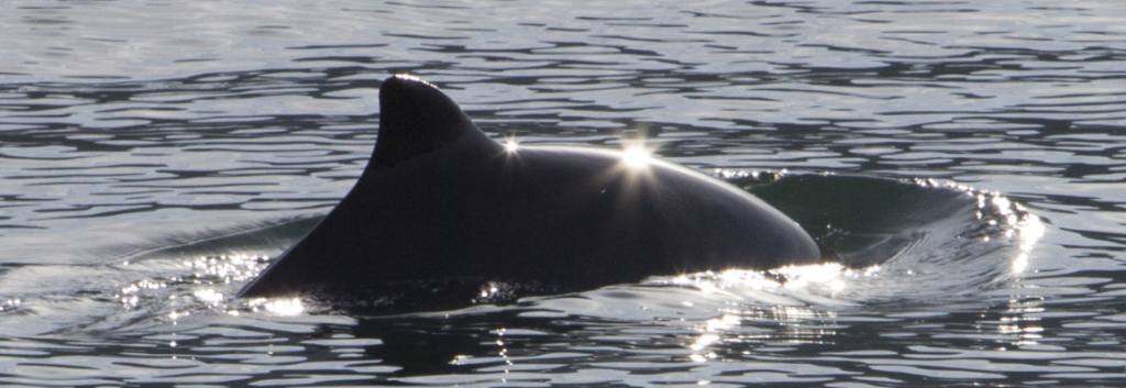 Harbor porpoise sun glint