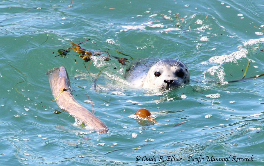 Baby-harbor-seal_Aug-2016